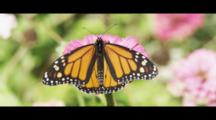 Western Monarch Butterfly Amongst Pretty Flowers. Beauty And Color.