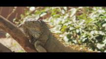 Iguana Rests On Branch, Looking Around.