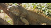 Iguana Rests On Branch, Nods Head And Scratches Nose.