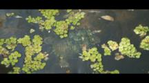 Fresh-Water Turtle Seen Swimming From Above Through Pond. Red Eared Slider?