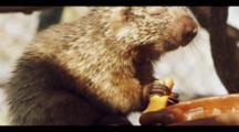 Hairy Dwarf Porcupine In Tree Eating Papaya.