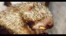 Close Up Of Hairy Dwarf Porcupine In Tree Eating Papaya.