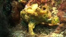 Frog Fish On Reef