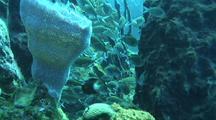 Sponges And Brown Cromis