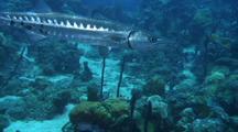 Barracuda Swimming Over Reef