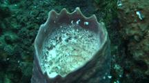 Barrel Sponge Spawning