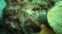 Goldentail Moray In Coral