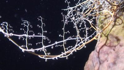 giant basket star fishing small organism