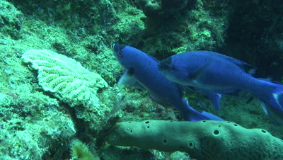 initial creole wrasse