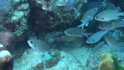 loose aggregation of brown chromis