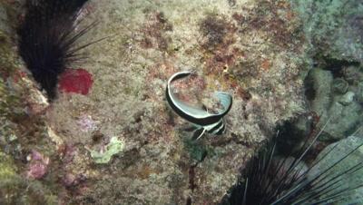 juvenile spottet drum and sea urchins