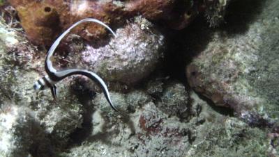 juvenile drum over rockey bottom