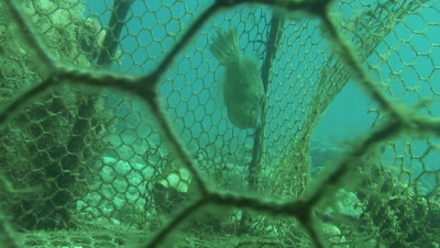 scrawled filefish trapped in forgotten fish trap