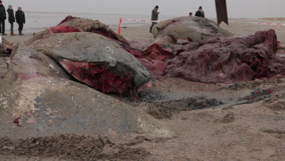Tail and parts of a stranded cadaver of a spermwhale is cut into pieces using a backhoe loader