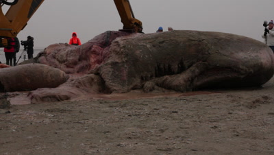 The head part of a stranded cadaver of a spermwhale is cut into pieces using a backhoe loader