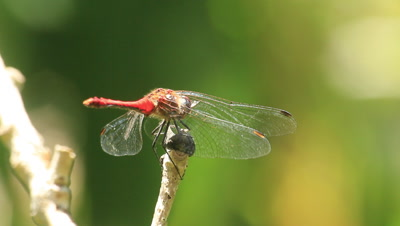 red darter take off and land on a twig