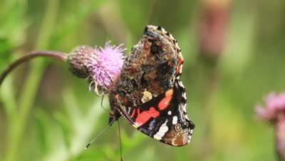 red admiral butterfly on a thistle flower feeding