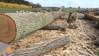 oak log 300 years old prepared for splitting into planks for the construction of a viking ship