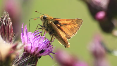 Butterfly is eating nectar from thistle flower