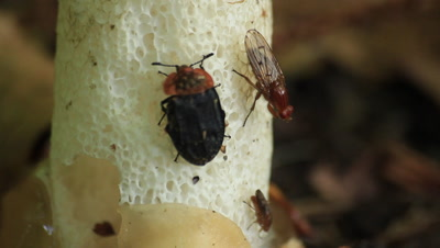 beetle and fly eating fungus