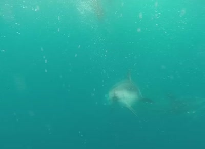 Freediving underwater with playful dusky dolphins,in the deep blue.