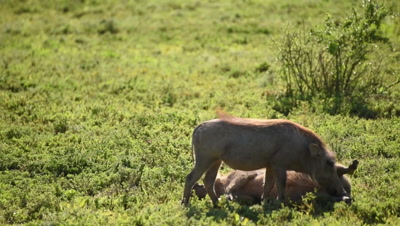 Young warthogs interacting and grooming each other