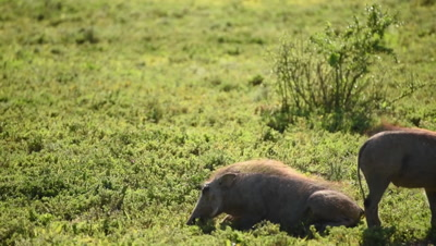 Young Warthogs grazing and then grooming each other