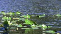 Lily Pads On Lake Or Pond