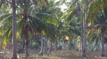 Palm Grove At Dawn