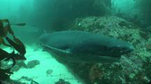 Seven Gill Shark In Kelp Forest
