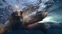 Tiger Shark Attack Hunting Sea Turtle