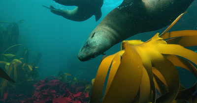 Curious Cape Fur Seal