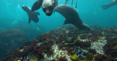 Cape Fur Seals and kelp