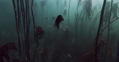 Sevengill Shark in Kelp