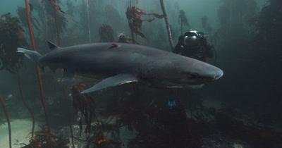 Sevengill Shark and diver
