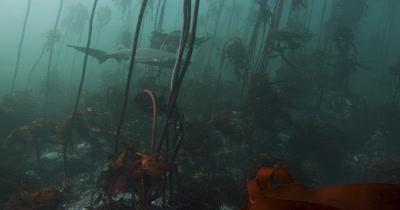 Sevengill Sharks