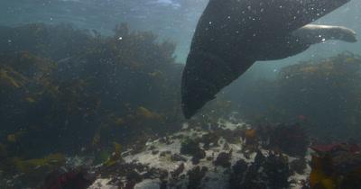 Bull Cape Fur Seal Gape