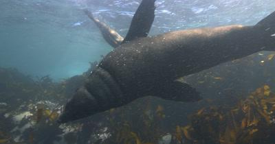 Territorial Bull Cape Fur Seal