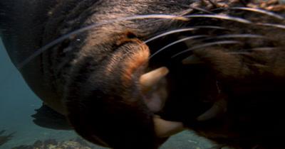 Defensive Bull Cape Fur Seal Bites Camera