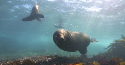 Bull Cape Fur Seal defending territory