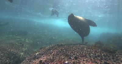 Bull Cape Fur Seal Attack