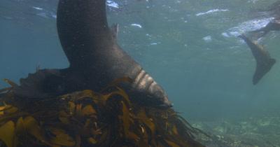 Bull Cape Fur Seal