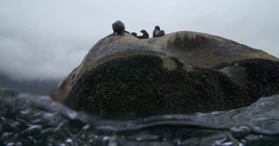Cape Fur Seal enters water