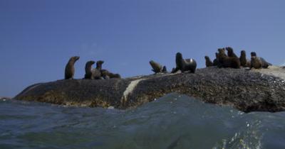 Cape Fur Seals enter water
