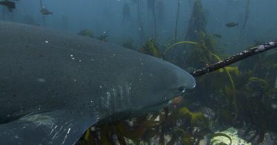 Sevengill Shark in Kelp Forest