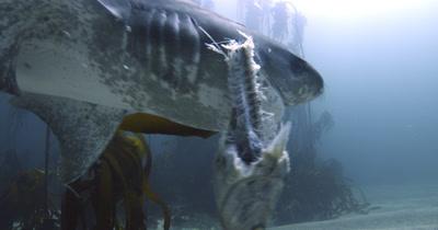 Sevengill Shark with Prey