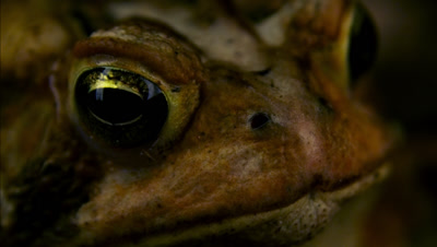 Close Up American Toad Face