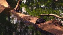 Aquatic Turtle Swims, Gets Up On Log