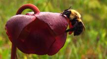 Bee Pollinating Pitcher Plant Flower