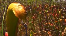 Field Of Hooded Pitcher Plants,Sarracenia Minor Var. Okefenokeensis